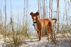 Pinscher mix looking thru the sea oats. Small dog looking straight ahead, with the Gulf of Mexico in the background. The local beach grasses slightly cover her royalty free stock images
