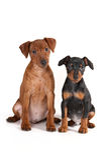 Pinscher puppies. Brown and black pinscher puppies royalty free stock photo