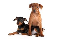 Pinscher puppies. Brown and black pinscher puppies royalty free stock photos
