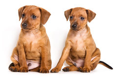 Pinscher puppy Royalty Free Stock Photo