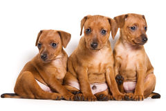 Pinscher puppy Royalty Free Stock Photos