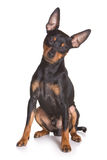 Pinscher puppy Stock Images