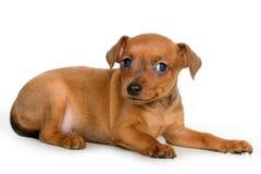 Pinscher puppy. On a white background stock photos