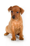 Pinscher puppy. On a white background Royalty Free Stock Photography
