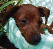 Pinscher puppy closeup. Two months old pure breed miniature pinscher puppy in a basket stock photo