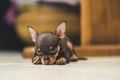 Pinscher puppy. Sleeping on blur background Stock Image