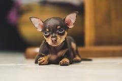 Pinscher puppy. Sleeping on blur background Stock Photography