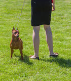 Pinscher is ready to defend master Stock Photos