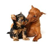 Pinscher takes care of the yorkshire puppy. Red Miniature Pinscher takes care of the little puppy of the Yorkshire Terrier Royalty Free Stock Photo