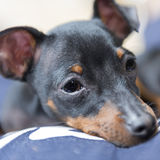 Pinscher toy Royalty Free Stock Image