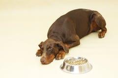 Pinscher triste del doberman di Brown con alimento Fotografia Stock Libera da Diritti