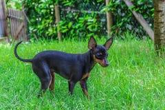 Pinscherhund lizenzfreie stockfotografie