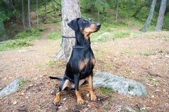 Pinscherhund Lizenzfreie Stockfotos