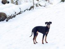 Pinscherhund Lizenzfreie Stockbilder