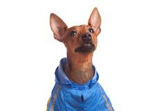 Pinsher lindo en chaqueta azul Imagen de archivo