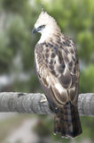 Pinsker's hawk-eagle. Picture of a rare pinsker's hawk-eagle Royalty Free Stock Photos