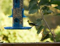 Pinson d'or alimentant au conducteur bleu d'oiseau en été au Minnesota image stock