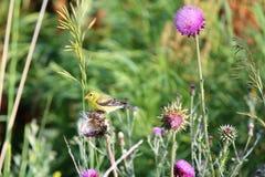 Pinson d'or parmi les fleurs Image stock