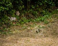 Pinson de deux terrains communaux sur la terre Image stock