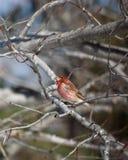 Pinson pourpré dans l'arbre de chêne Photographie stock libre de droits