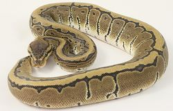 Pinstripe Royal Python Royalty Free Stock Photos