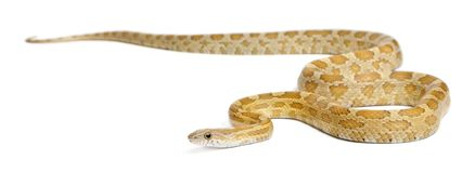 Pinstriped albino corn snake, Pantherophis guttatus. In front of white background royalty free stock photos