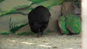 Pintade au zoo clips vidéos