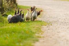 Pintade et poulet Image libre de droits