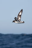 Pintado Petrel in flight Royalty Free Stock Image