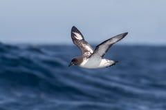 Pintado-Sturmvogel im Flug über dem Meer Stockfotos