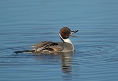 pintail Immagine Stock