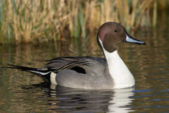 pintail Royaltyfri Foto