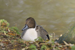 Pintail Duck Royalty Free Stock Images
