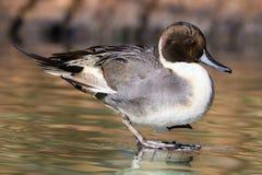 Free Pintail Duck Stock Photo - 80009780
