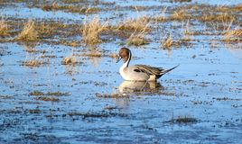 Pintail Duck (Anas Acuta). A Pintail duck reflected in shallow water. Picture taken in Gloucestershire, England in January Stock Image