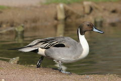Pintail Duck stock image