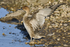 Pintail duck flapping wings Royalty Free Stock Image