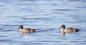 Pintail duck males swimming. Stock Image