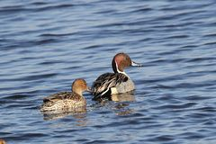 Pintail Duck Pair. This Pintail pair was photographed in Bombay Hook, NWR, located in Central Delaware. Bombay Hook is located on the Atlantic Flyway, there are stock photo