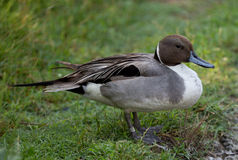 Pintail duck standing in grass. Male pintail duck standing in grass Royalty Free Stock Photo