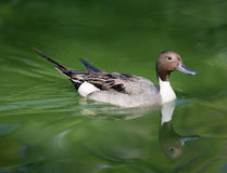 Pintail duck Stock Images