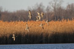 Pintail Ducks at Sunset. Pintail ducks photographed just before sunset in Augustine Wildlife Area in central Delaware Royalty Free Stock Photo