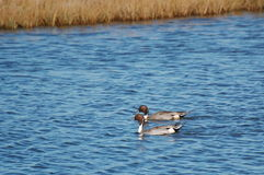 Pintail Ducks swimming in the marsh Royalty Free Stock Photos