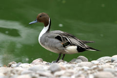 Pintail Royalty Free Stock Photos