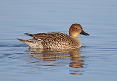 Pintail royalty free stock photography
