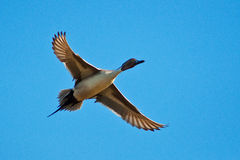 Pintail In Flight. Pintail duck in flight taken in the wild in Arizona Royalty Free Stock Photography