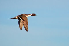 Pintail Flyby Stock Photography