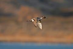 Pintail kaczka Fotografia Royalty Free
