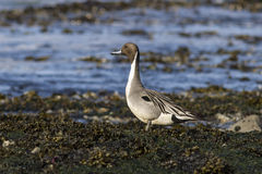 Pintail Male standing on the beach at low Stock Photography