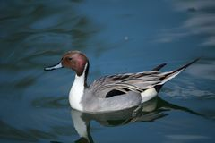 A Northern pintail in breeding plumage stock images